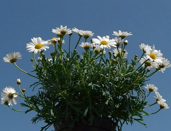 Daisies Landscapes Nature Flower Floret Leucanthem