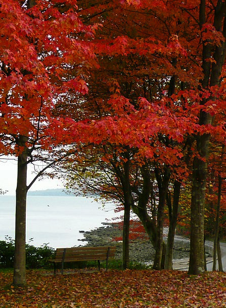 Maple Plants Stanley Park Trees Vancouver British