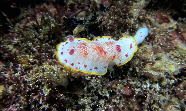 Nudibranch Swimming Diving Headfirst Snorkeling Wi