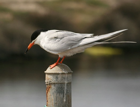 Tern Fowl Pole Opposite Bird Perched Balanced Avia