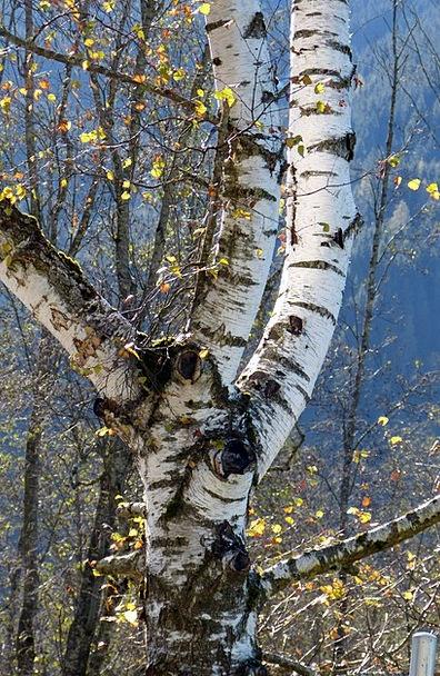 Birch Cane Landscapes Sapling Nature Nature Countr
