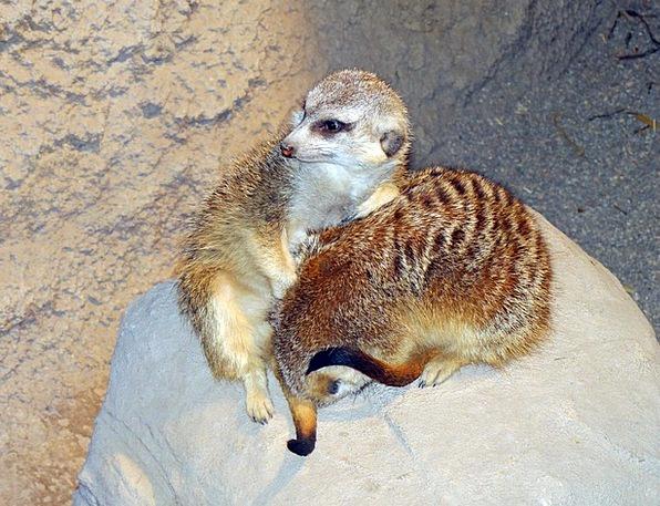 Meerkats Landscapes Nature Southern Live Groups Af