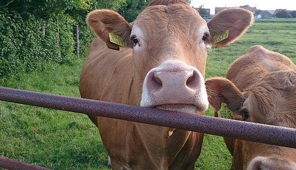 Animal Physical Intimidates Cow Intimidate Cows Ca