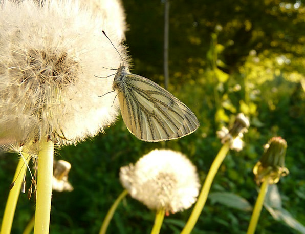 Green Veined White Butterfly White Ling Dandelion
