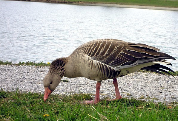 Greylag Goose Drink Lawn Food Eat Bother Grass Pea