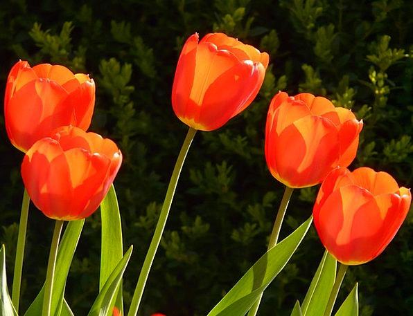 Tulips Landscapes Plot Nature Flower Floret Garden