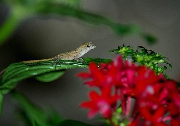 Lizard Gecko Red Flowers Reptilian Animal Physical