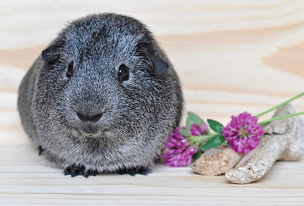 Silver Gray Smooth Hair Guinea Pig Rodent Cute Ani