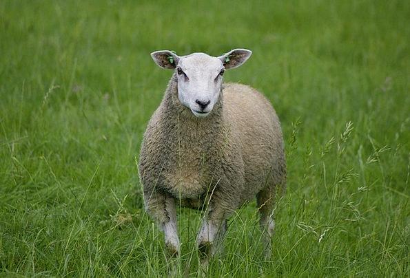 Sheep Ewe Advance Cute Attractive Loan Farm Farmho