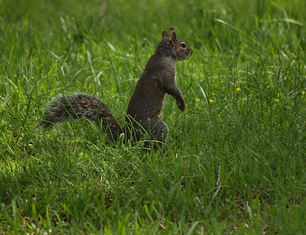 Eastern Leaden Squirrel Collector Gray Squirrels C