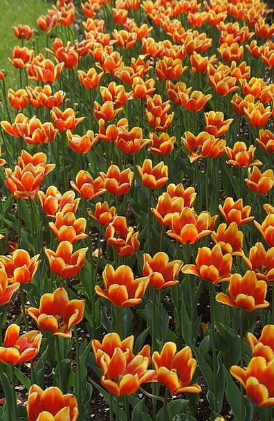 Orange Carroty Creamy Tulips Yellow Flower Floret