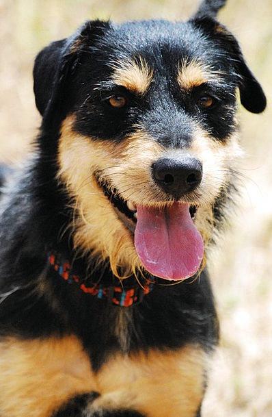 Dog Canine Physical Hybrid Cross Animal Schnauzer