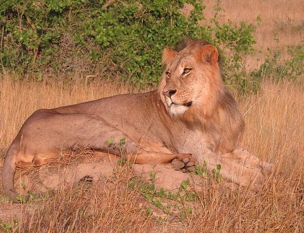 Lion Grassland Predator Marauder Savanna Mammal Af