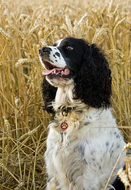 Dog Canine Spaniel Springer Portrait English Sprin