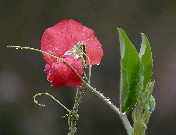 Vetch Fabaceae Vicia Raindrop Faboideae Flora Legu