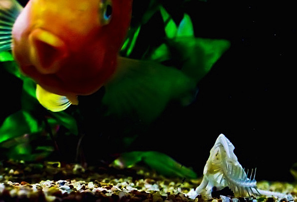 Fish Tank Angle Orange Carroty Fish Skeleton Minim