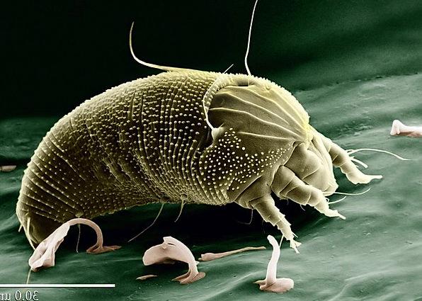 Mite Louse Acari Aceria Anthocoptes Science Arachn