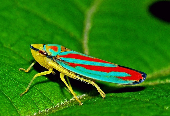 Leafhopper Bug Macro Instruction Insect Nature Cou