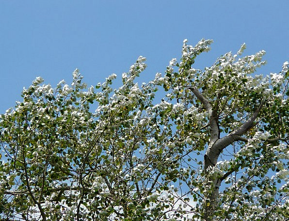 Leaves Greeneries Breeze Murmur Hum Wind Populus A