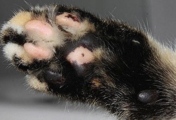 Cat Feline Hand Fur Hair Paw Fluffy Fleecy Dear Cu