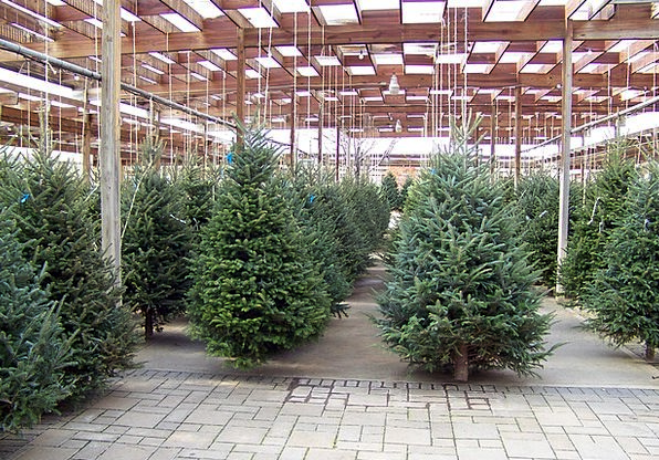 Christmas Plants Nursery Plant sales outlet Trees
