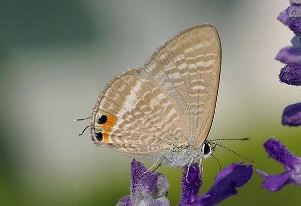 Great Wanderbläuling Butterflies Nerves Butterfly