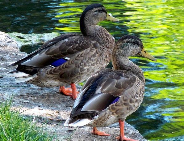 Ducks Dears Landscapes Nature Birds Natures Duck C