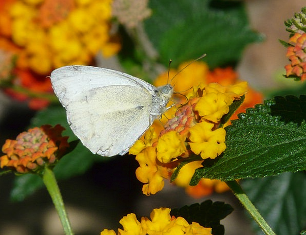 Lantana Floret Butterfly Flower Wood White Pierida
