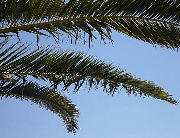 Palm Tribute Blue Palm Leaves Sky Mediterranean Vi