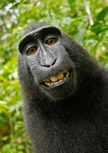 Selfie Ape Self Portrait Monkey Funny Macaca Nigra
