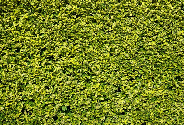 Hedge Hedgerow Textures Lime Backgrounds Leaf Foli