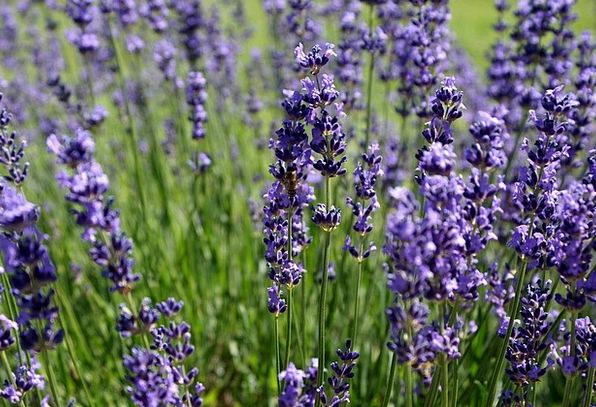 Lavender Floret Summer Straw-hat Flower Medicine B