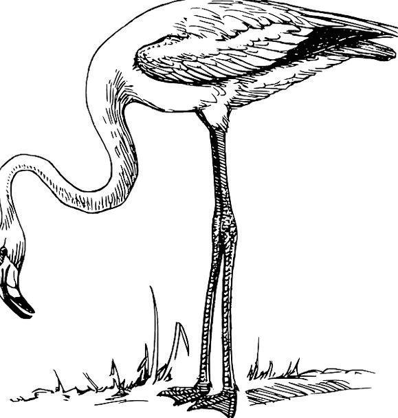 Flamingo Fowl Beautiful Lovely Bird Pink Flushed C