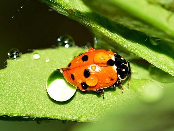 Ladybug Bugs Beetles Insects Hippodamia Variegata