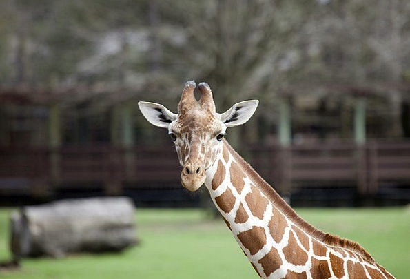 Giraffe Menagerie Animal Physical Zoo Pattern Wild