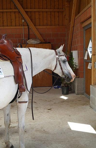 Shagya-Arabians Mount Western Cowboy movie Horse M