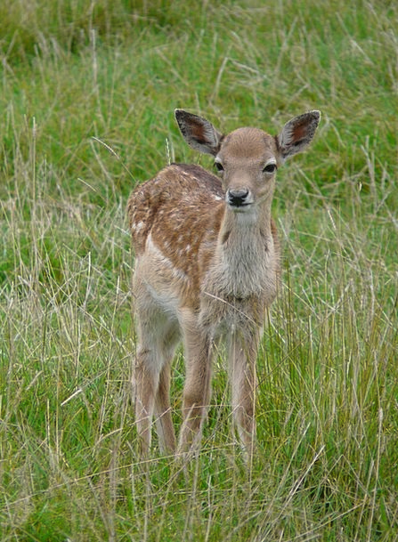 Deer Nice Enjoyable Young Animal Animal Cute Attra