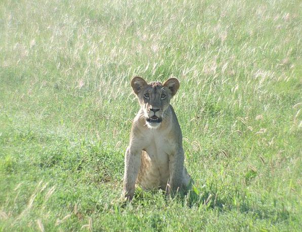 Lion Cub Wildcat Lion Predator Marauder Carnivores