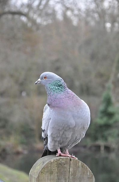 Pigeon Mark Bird Fowl Rock Pigeon Columbidae Perch