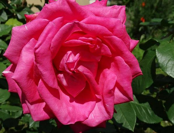 Rose Design Flushed Flowers Plants Pink Rose Bloom