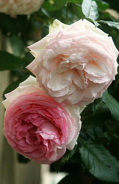 Rose Design Rose Blooms Eden Rose Pink Flushed Flo