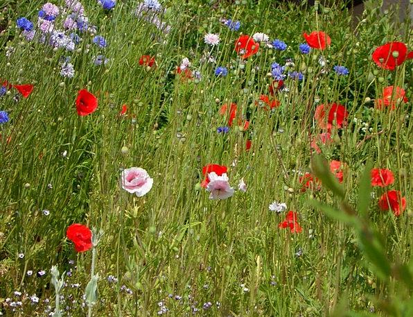Meadow Field Summer Meadow Butterfly Meadow Wild F