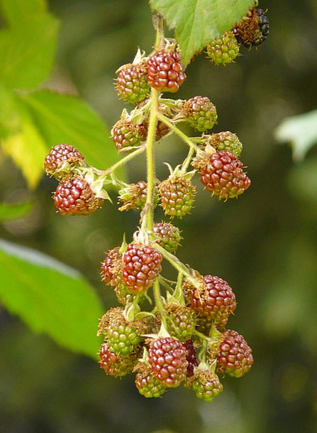 Blackberries Landscapes Nature Berries Rubus Secti