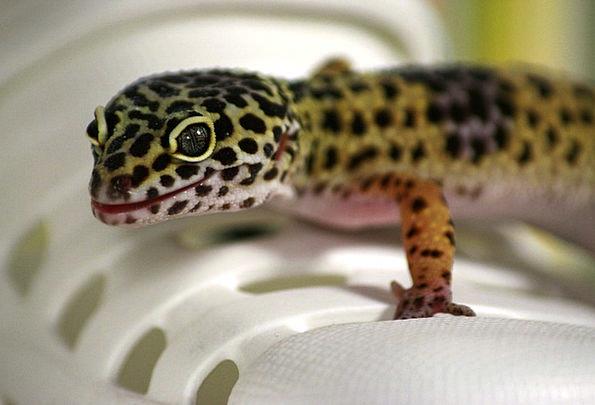 Gecko Landscapes Nature Leoperdgecko Lizard Nature