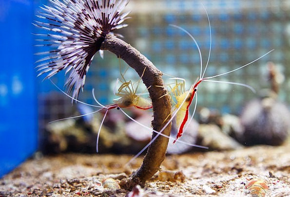 Northern North Domestic Shrimp Cleaner Legs Scarle