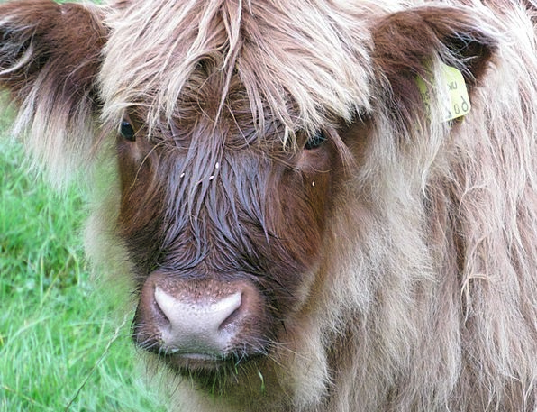 Scottish Hochlandrind Beef Complaint Scotland Live