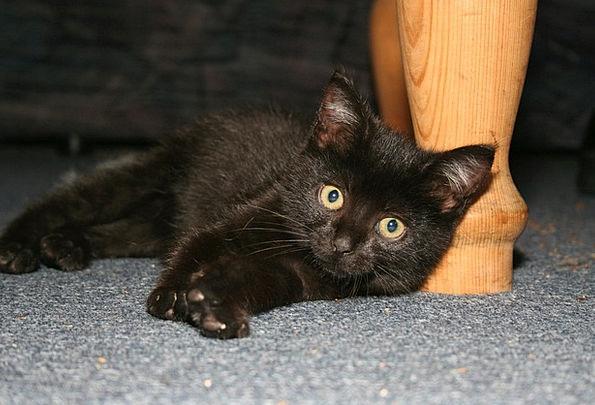 Cat Feline Dark Animals Faunae Black Concerns Anxi