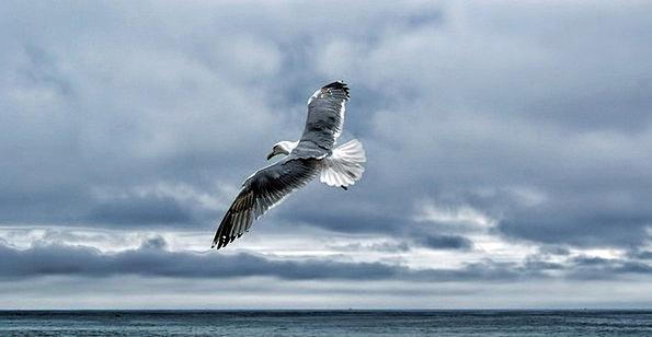 Gull Bird Fowl Sea Gull Shore Bird Soaring Flying