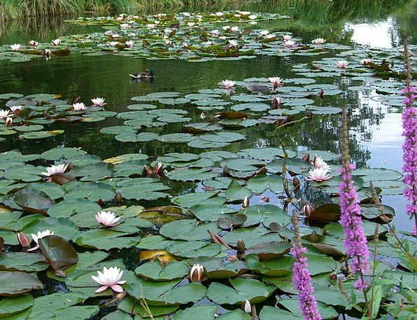 Water Lilies Landscapes Pool Nature Aquatic Plant