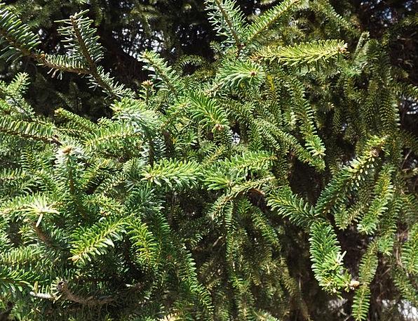Abies Pinsaro Landscapes Nature Tree Sapling Spani